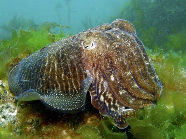 Choco sobre fondo de lechuga de mar, ría de Vigo