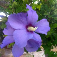 L'oiseau bleu, fleur d'altea.
