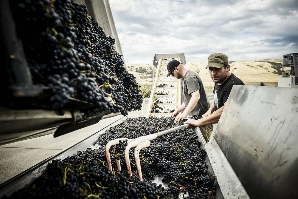 Escarpment Te Rehua winemaker sorts grapes.