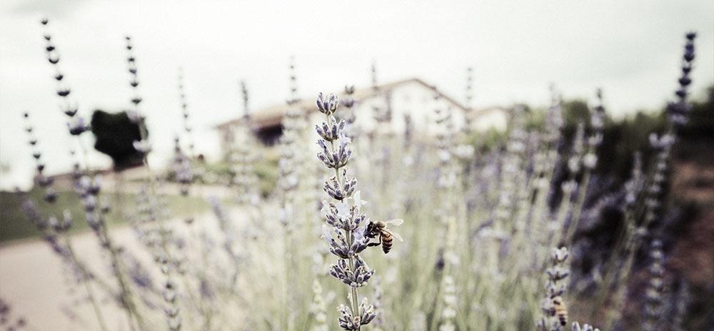 Baldetti bee in Cortona