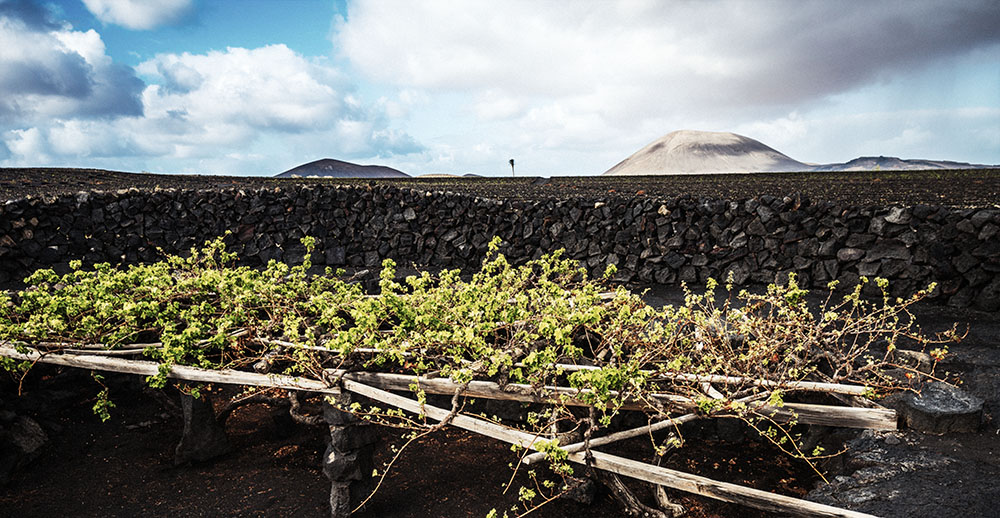 Canary Islands vineyard