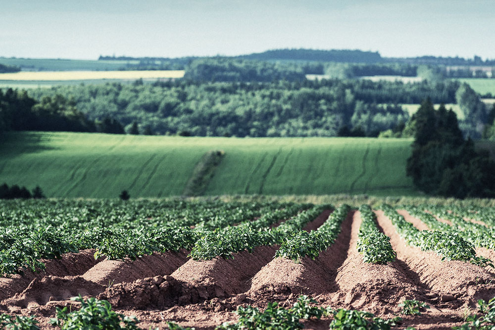 Prince Edward Island Potato Crop