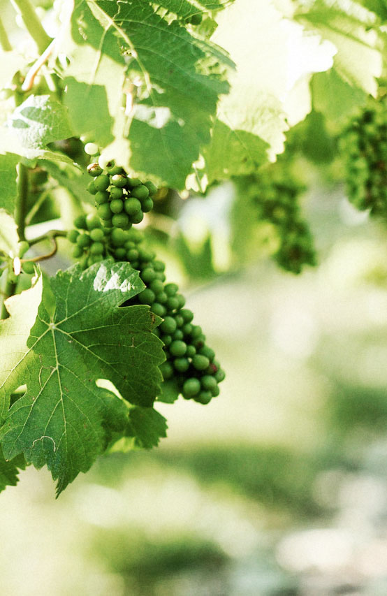 Sustainable BC wine grapes