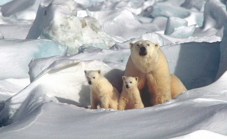 this is philosophy - image of polar bear and cubs
