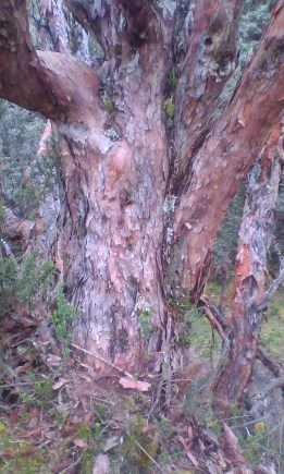 This is a Quenua Tree, belongs to genus Polylepis spp. It constantly sheds it's paperlike bark.