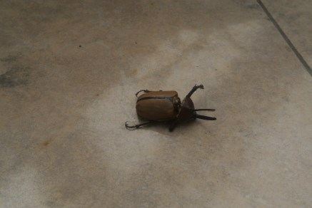 "This ""little"" Rhinoceros beetle was on our porch to welcome us home!"