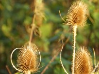 Teasel - food source for goldfinches
