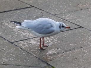 Adult Black-headed gull - winter plumage