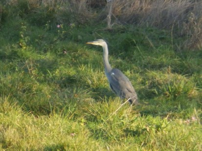 Heron in the small meadow