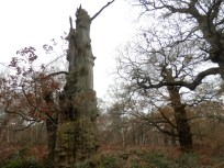 Ancient oak in Sherwood Forest
