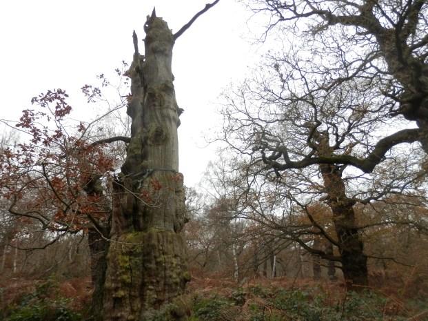 Ancient oak in Sherwood Forest