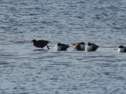 Shovellers with Coot at Idle Valley