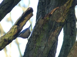 Nuthatch in woods at Rufford Abbey