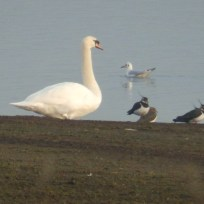 Mute Swan, Lapwings and Black Headed Gull