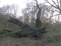 Oak in Sherwood Forest