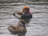 Red Crested Pochard - Arnot Hill
