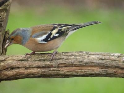 Chaffinch in the Bird Garden
