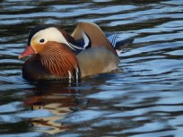 Mandarin drake - Arnot Hill ParkOLYMPUS DIGITAL CAMERA