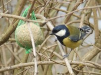 Great Tit with fat ball