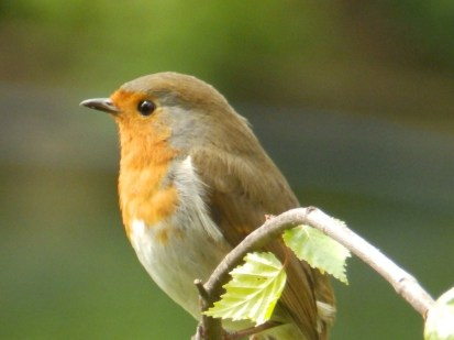Robin, Arnot Hill Park