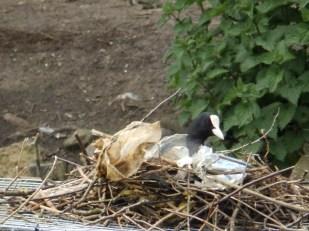 Coot Nest - Arnot Hill Park