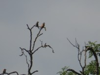 Bee-eaters at East Leake