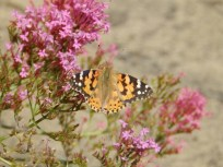 Painted Lady on Red Valerian