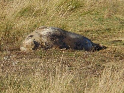 Grey Seal relaxing