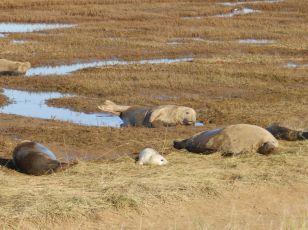 Grey Seals and pups - Donna Nook