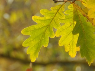 Sunlit oak leaves at Clumber