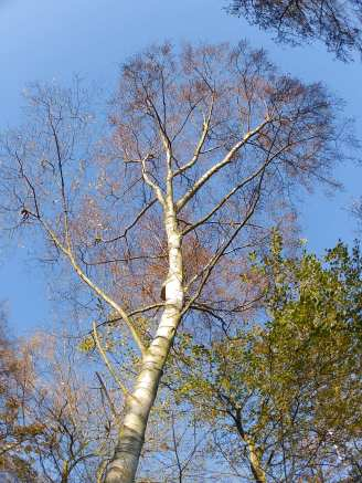 Silver Birch - Rufford Abbey