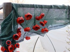 Poppies in the Mencap garden - Wilford