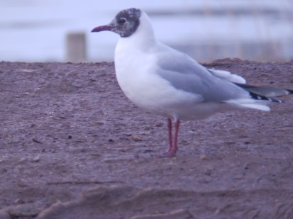 Black-headed Gull, Stoke on Trent