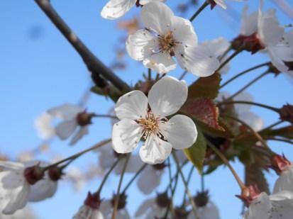 Blossom at Wilford
