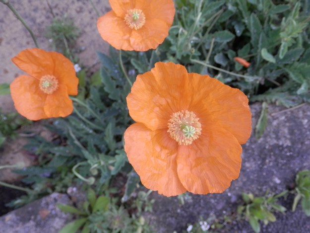 Poppies growing from cracks in concrete