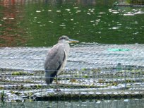 Heron Arnot Hill Park Arnold