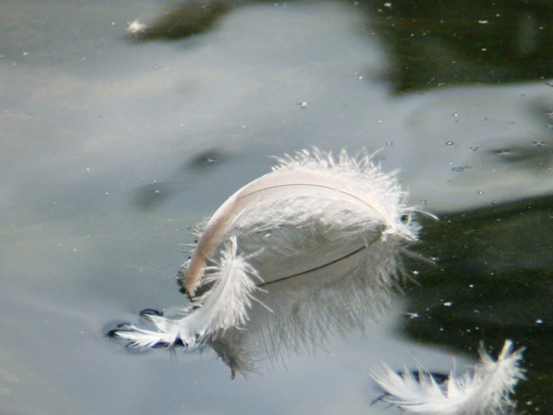 Floating Feathers - Arnot Hill Park