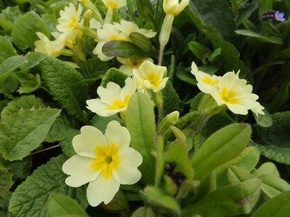 Primroses at Wilford, Notts