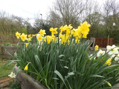 Daffodils at Mencap garden