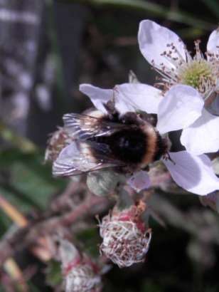 Bumble bee on bramble flowers - Sherwood Forest