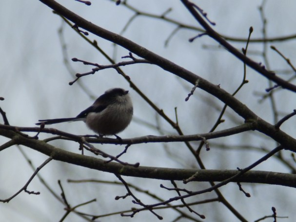 Long Tailed Tit - Rufford Abbey