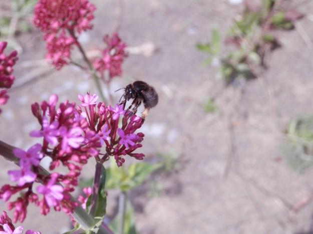 Bee on Red Valerian