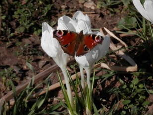 Peacock - our first butterfly of 2015