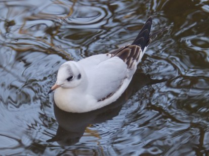 Black-headede gull - 1st winterERA