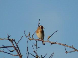 Goldfinch at Sreveton