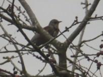Fieldfare in tree