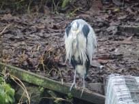 Grey Heron at Arnot Hill Park