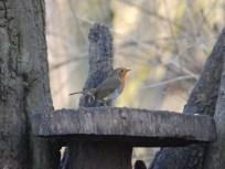 Robin at Ruffird Abbey