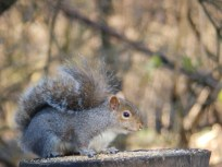 Squirrel looting bird table at Rufford Abbey