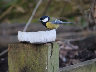 Great Tit on feeder - Sherwood Forest